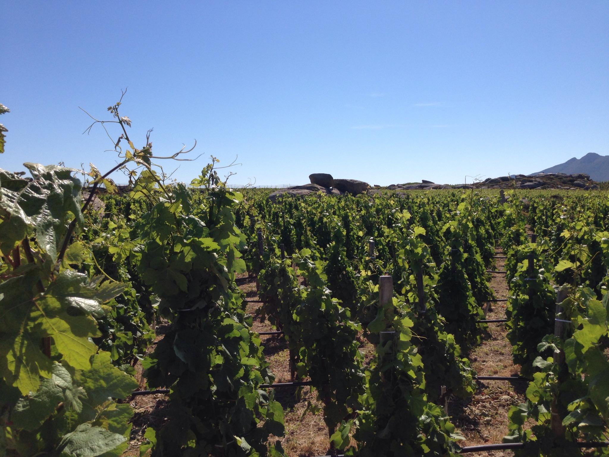 Stegasta Vineyard
