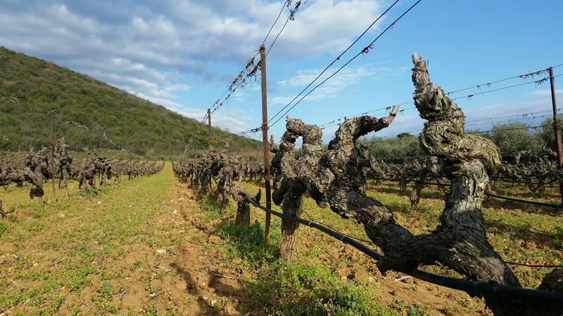 Bas Karter vineyard in Trilofos